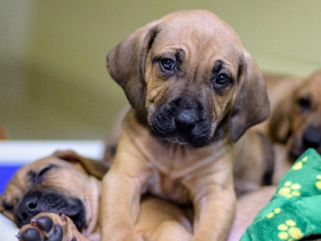pets of the week seven 8 week old hound mix puppies need loving homes