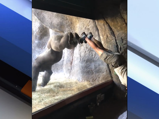 Viral video shows gorilla mimicking his trainer