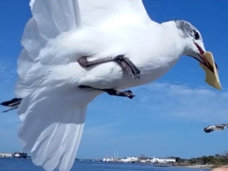 Beach restaurants warn of aggressive seagulls