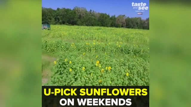 Pick sunflowers this May at HarvestMoon Farm in Masaryktown - Taste and…