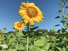 Pick sunflowers this May at HarvestMoon Farm