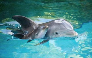 Scientists see rise in baby dolphins in Bay area