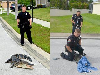 Police officers wrangle gator in Winter Haven
