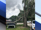 Large tree uprooted from rain in Gibsonton