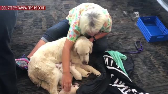 Brand-new Service dog welcomes litter of puppies while waiting to board  VA82