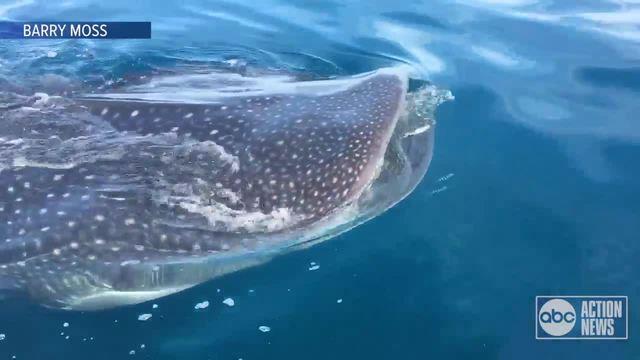 Captain spots whale shark near Anna Maria Island