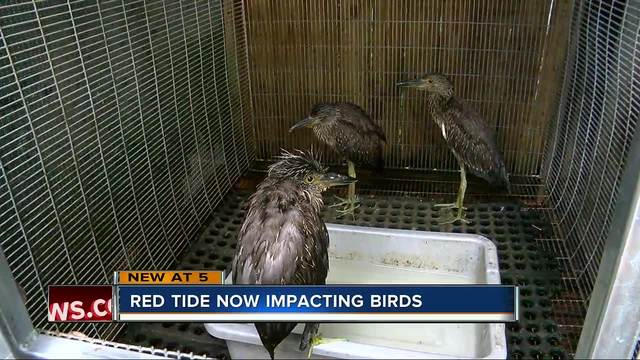 Birds dying after eating fish contaminated with red tide