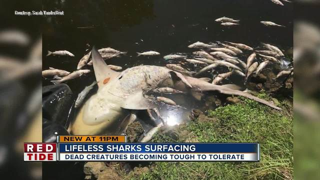 Red tide starts to kill sharks in Manatee County