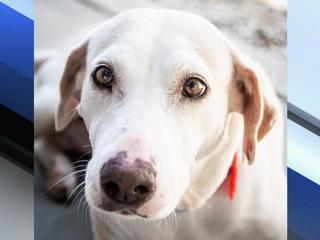 Pet of the week: Juno is a sweet Lab Retriever