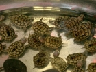 Baby turtles rescued after Hurricane Michael
