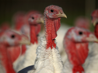 91,000 lbs. of turkey recalled due to salmonella