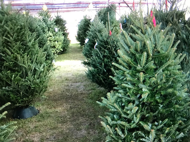 Christmas tree sale helps recovering addicts